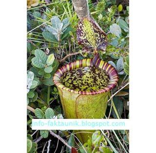 Nepenthes attenboroughii di info-faktaunik.blogspot.com