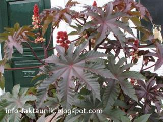 Ricinus Communis di info-faktaunik.blogspot.com